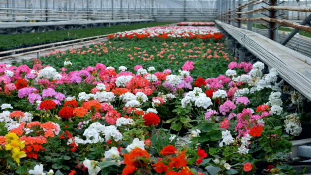 Beautiful flowers in a industrial greenhouse. 4K. video