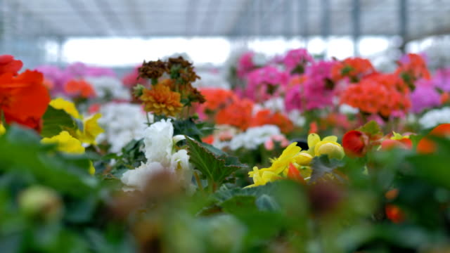 Beautiful flowers of different colours in a big greenhouse. 4K. video