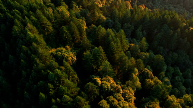 Beautiful forest trees in late evening sunlight video