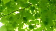 Beautiful fresh green Leaves against the Sun video