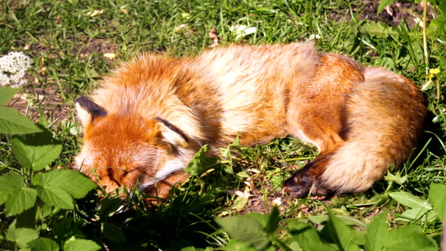 Beautiful furry wild red fox resting and sleeping after hunt on sunny day on meadow in forrest video