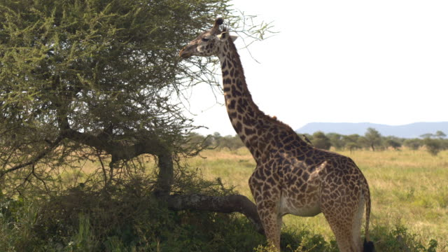CLOSE UP: Beautiful giraffe standing in the shade with wild bird on her back video