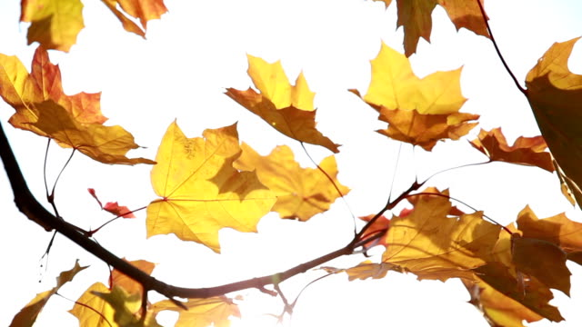 Beautiful, golden autumn. Yellow leaves in the sunlight. video