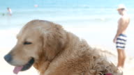 Beautiful golden retriever dog standing on the beach looking at the sea video