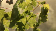Beautiful grape leaf on the sunset video