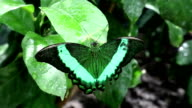 Beautiful green butterfly sit on wet green leaf video