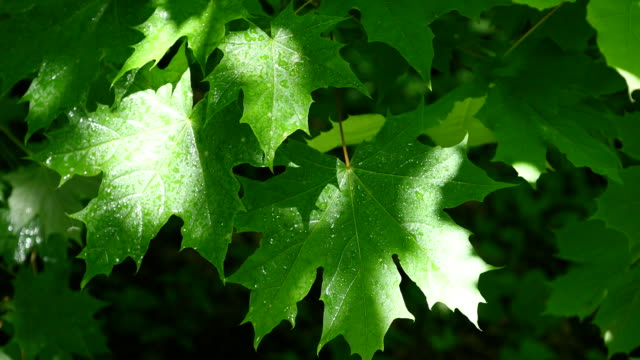 Beautiful green leafs of a maple tree during a spring rainstorm with rain falling on them video