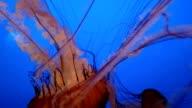A Beautiful Group of Jellyfish (Chrysaora fuscescens) Float Through the Ocean video