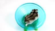 Beautiful hamster running on exercise wheel video