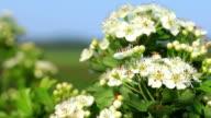 Beautiful hawthorn bush flowers video