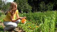 beautiful herbalist woman girl harvest marigold herb blooms. FullHD video
