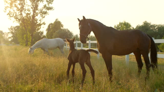 SLOW MOTION: Beautiful horse family with foal on pasture field at golden sunrise video