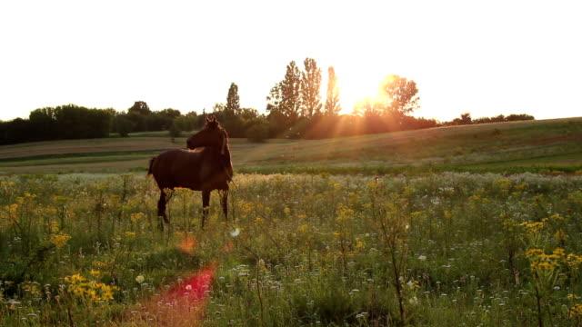 Beautiful horse grazing at summer dusk, sun rays through trees video
