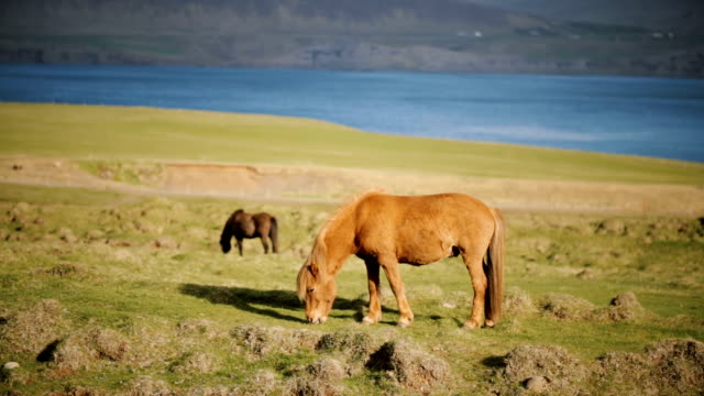 Beautiful Icelandic ginger horse grazing on the meadow. Animal farm outside the city near the water video