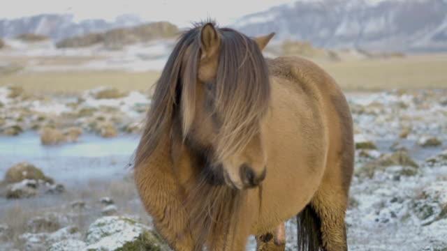 Beautiful icelandic horses in winter. video