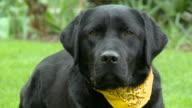 HD: Beautiful Labrador dog looking and listening video