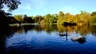 Beautiful lake with swans video