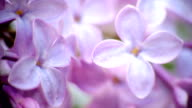Beautiful lilac flowers with the leaves video
