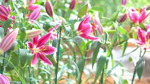 beautiful lily flower, 4k video