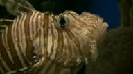 Beautiful Lionfish are swimming through the aquarium (High Definition) video