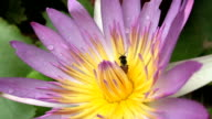 Beautiful Lotus Flower with bees video