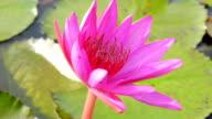 Beautiful Lotus video