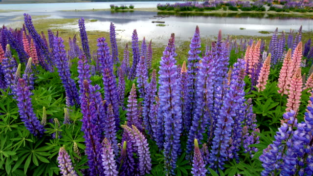 Beautiful Lupin Field at Lake Tekapo, New Zealand in Summer video