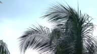 CLOSE UP: Beautiful lush green palm tree canopy against clear blue cloudless sky video