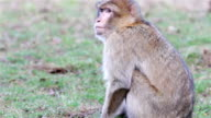 Beautiful Monkey Close Up - Barbary Macaques of Algeria & Morocco video