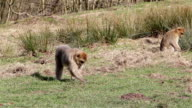 Beautiful Monkeys Eating from Ground as Ducks Walk Past - Barbary Macaques of Algeria & Morocco video