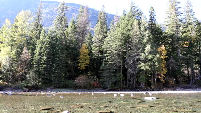 Beautiful Mountain River and Pine Forest video