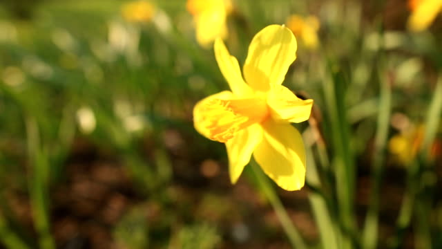 Beautiful narcissus close up video
