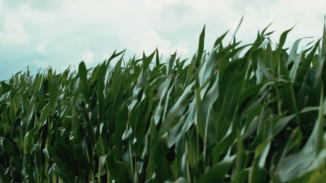 Beautiful natural organic corn moves in slow motion in the winds of the Mid-West video