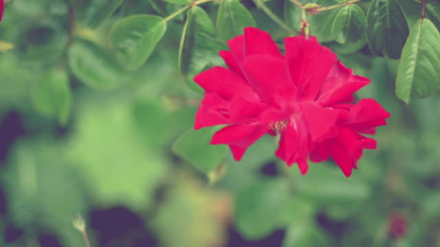 Beautiful natural red rose in morning light video