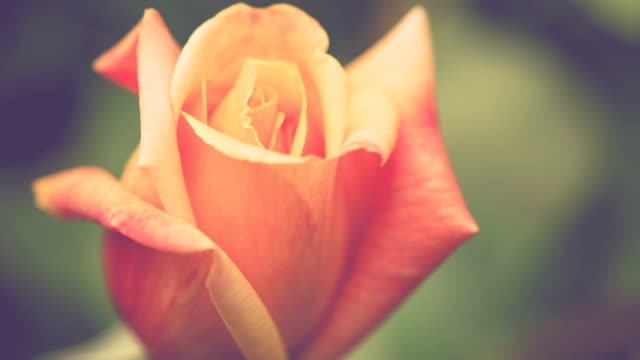 Beautiful natural yellow rose bud on beautiful blurred warm background video