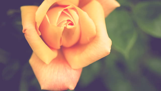 Beautiful natural yellow rose on beautiful morning light video