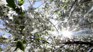 Beautiful nature scene with blooming tree and sun flare. video