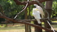 Beautiful of two white Cockatoo, Sulphur crested Cockatoo video