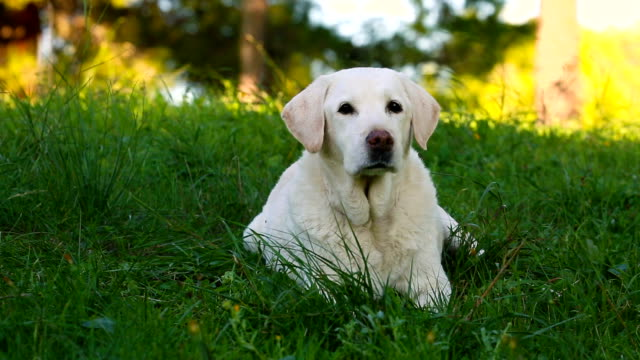 beautiful old senior labrador dog lying in the meadow video