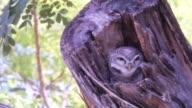 beautiful owl hidden on tree video