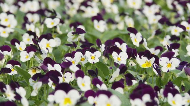 HD DOLLY: Beautiful Pansies video