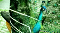 Beautiful peacock video