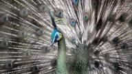 Beautiful peacock. video