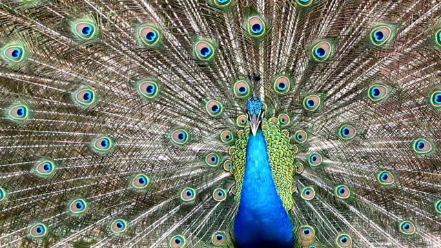 Beautiful peacock with feathers out. 1920x1080 Format video
