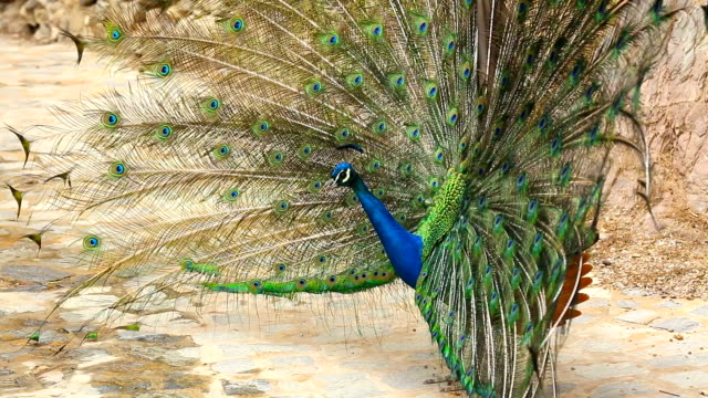 Beautiful peacock with opened fanned tail video