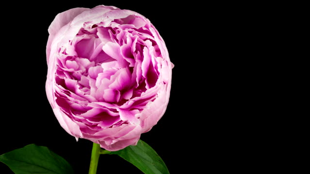 Beautiful Peony Time Lapse video