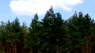 Beautiful pine trees on background high mountains. video
