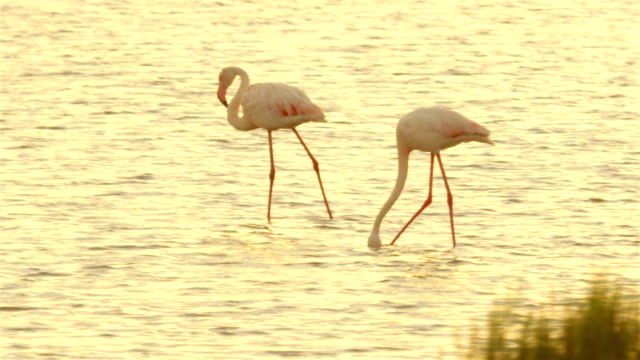Beautiful pink flamingos in the water at golden summer sunset video