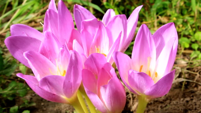 beautiful pink flowers of Colchicum autumnale blossoming in the Autumn video