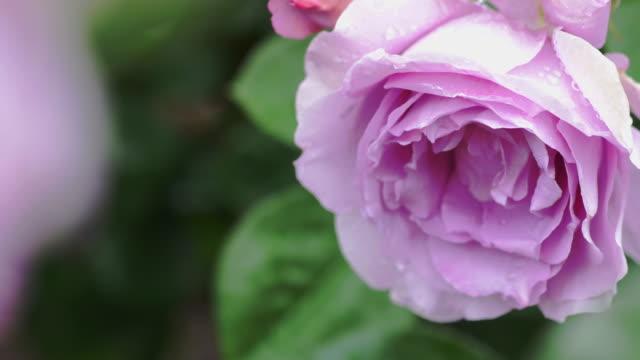 Beautiful pink rose with falling rain drop. video